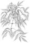 Bignoniaceae - Tecoma stans