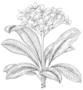 Apocynaceae - Plumeria rubra