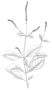 Amaranthaceae - Cyathula prostrata
