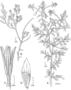 Onagraceae - Xylonagra arborea