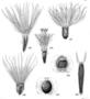 Asteraceae - Coreopsis lanceolata