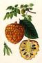 Annonaceae - Annona cherimola