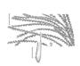 Poaceae - Leptochloa virgata