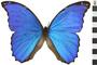 Image of Giant Blue Morpho