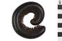 Image of African Giant Black Millipede