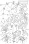 Caryophyllaceae - Schiedea helleri