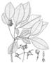 Apocynaceae - Rauvolfia sachetiae