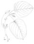 Gesneriaceae - Cyrtandra olona
