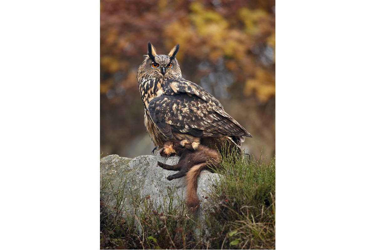 Great Horned Owl | Q?rius