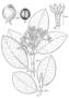 Rubiaceae - Psychotria temetiuensis