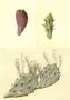 Cactaceae - Opuntia ficus-indica