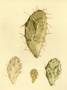 Cactaceae - Opuntia monacantha var. variegata
