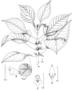 Gesneriaceae - Cyrtandra macraei