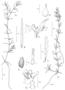 Hydrocharitaceae - Najas guadalupensis