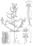 Onagraceae - Chylismiella pterosperma