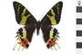 Image of Sunset Moth