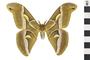 Image of Cynthia Moth