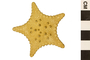 Image of Cookie Sea Star