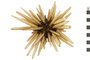 Image of Slate Pencil Urchin