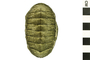 Image of Sulcate Chiton