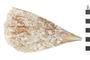 Image of Amber Pen Shell