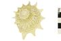 Image of Longspine Starsnail