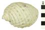 Image of Widemouth Rocksnail