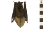 Image of Little Brown Bat