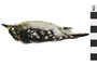 Image of Downy Woodpecker