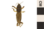 Image of Southern Mole Cricket