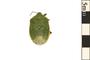 Image of Stink Bug