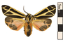 Image of Harnessed Tiger Moth