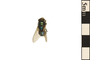 Image of Common Green Bottle Fly