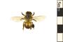 Image of European Honey Bee