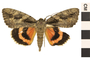 Image of Sweetheart Underwing