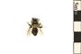 Image of Mining Bee