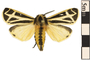 Image of Banded Tiger Moth
