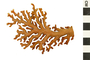 Image of Lace Coral