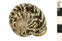 Image of Plicate Labyrinth Snail