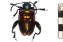Image of Frog-legged Leaf Beetle