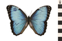 Image of Blue Morpho
