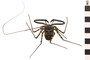 Image of Tailless Whip Scorpion