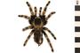 Image of Mexican Redknee Tarantula