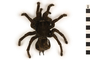 Image of Goliath Birdeater