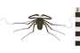 Image of Giant Tailless Whip Scorpion