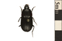 Image of Ground Beetle