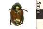 Image of Japanese Beetle