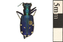 Image of Six-spotted Tiger Beetle