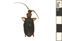Image of False Bombardier Beetle