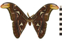 Image of Atlas Moth